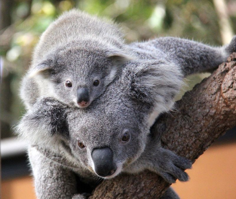 Australia-Koalas