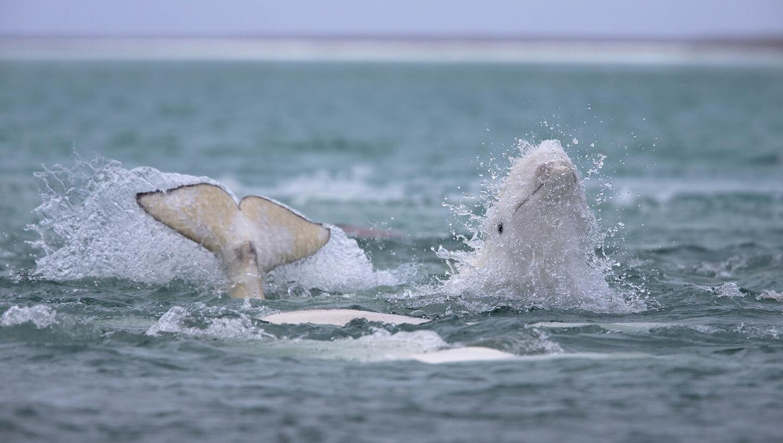 Beluga whales at Arctic Watch