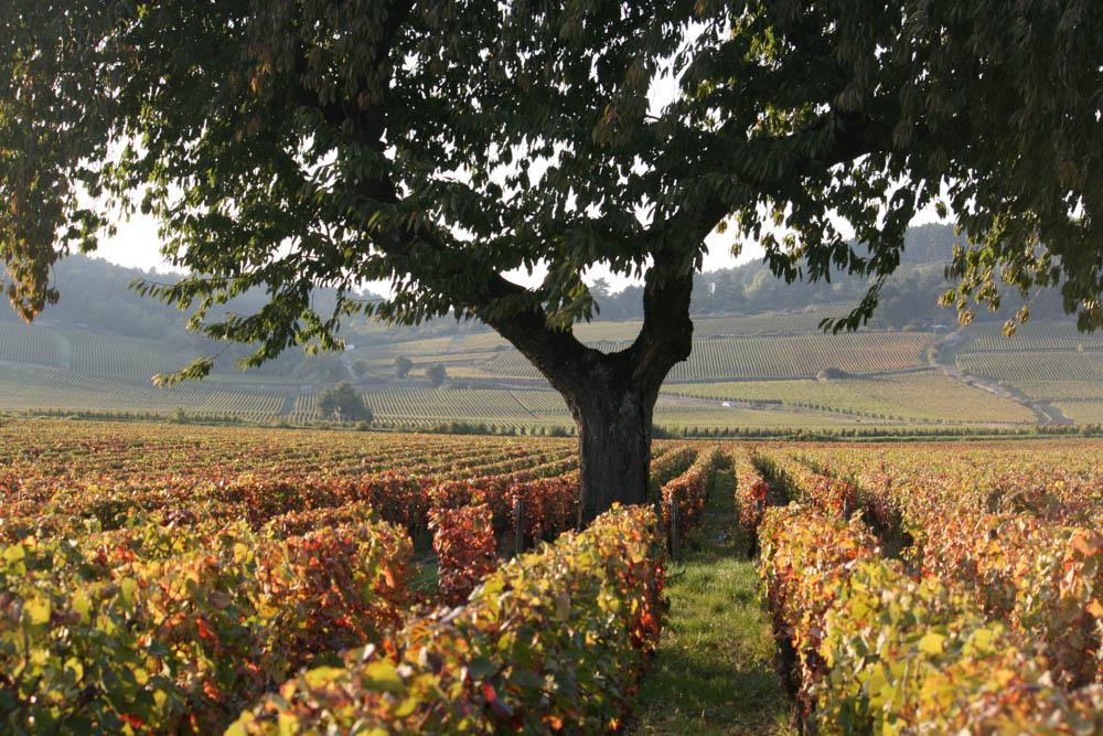 Burgundy France Vineyards Harvest