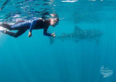 whaleshark ningaloo western australia